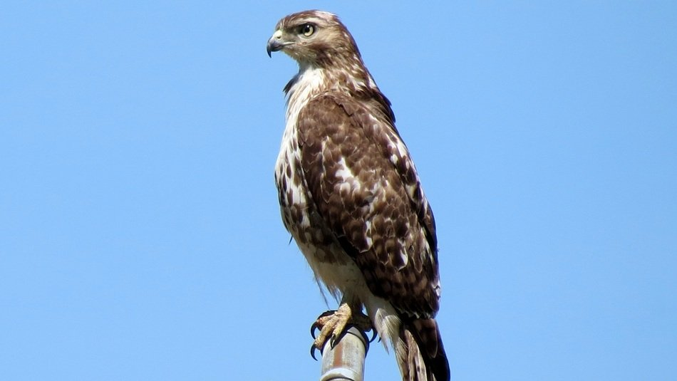 Red Broad-Shouldered Hawk
