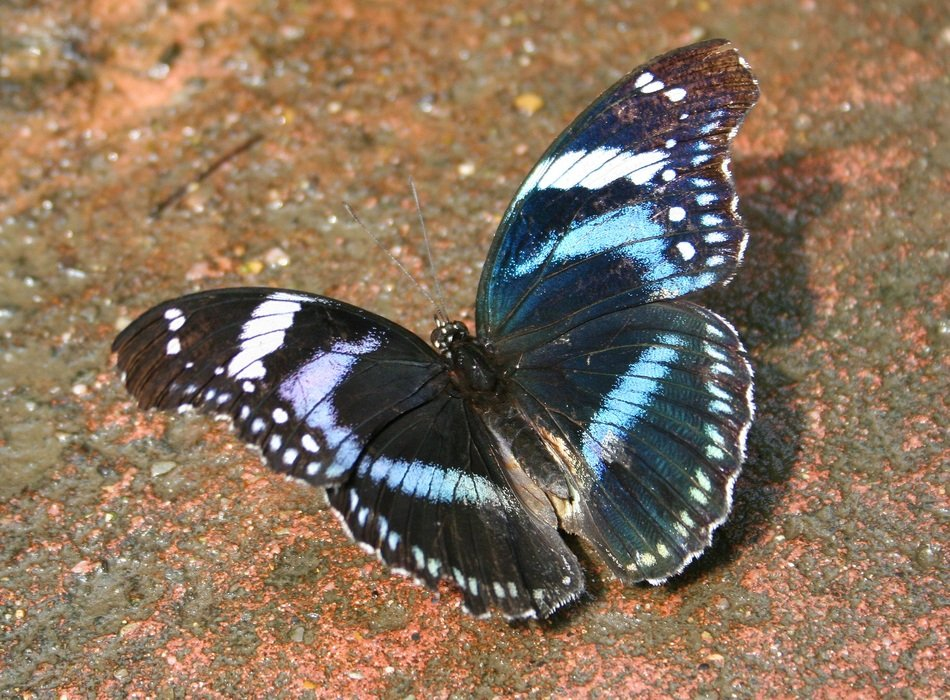 blue and black butterfly in wildlife