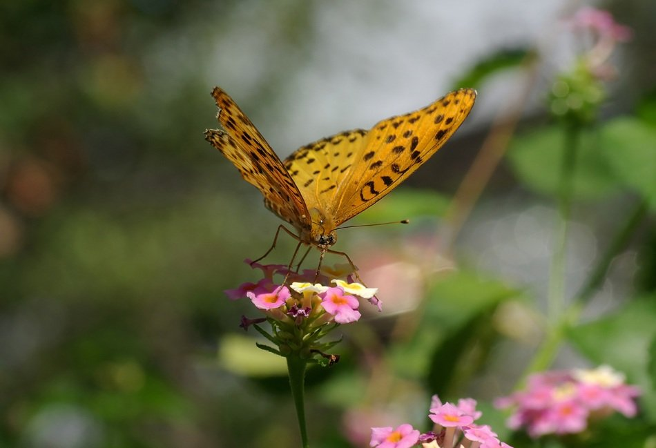 butterfly Indian Grouse on a pink flower