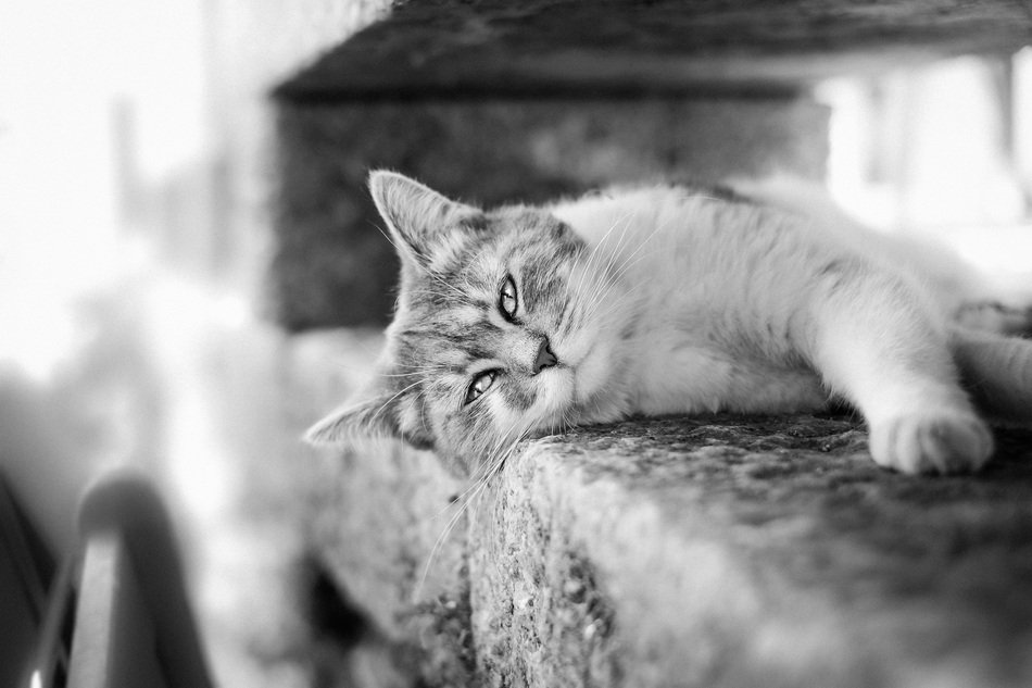 cute lovely Cat Black And White photo