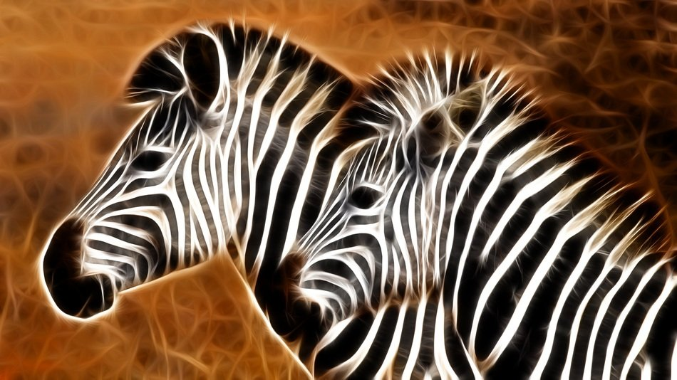 picture of two zebras