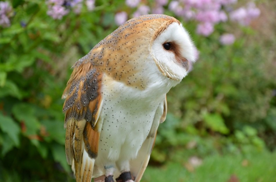barn owl in wild forest