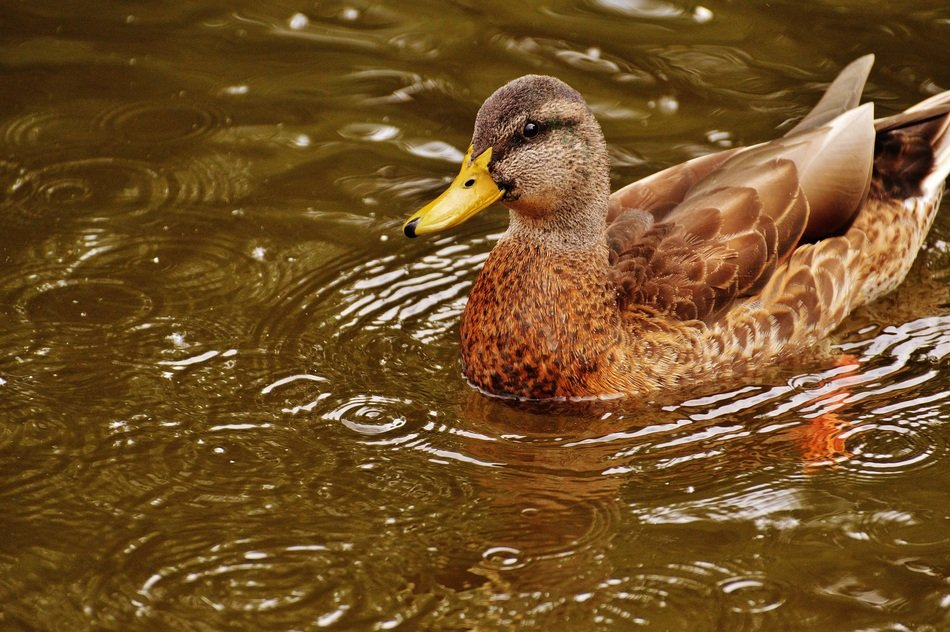 brown duck on water