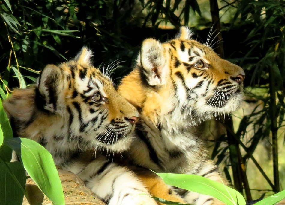 young tigers in the zoo