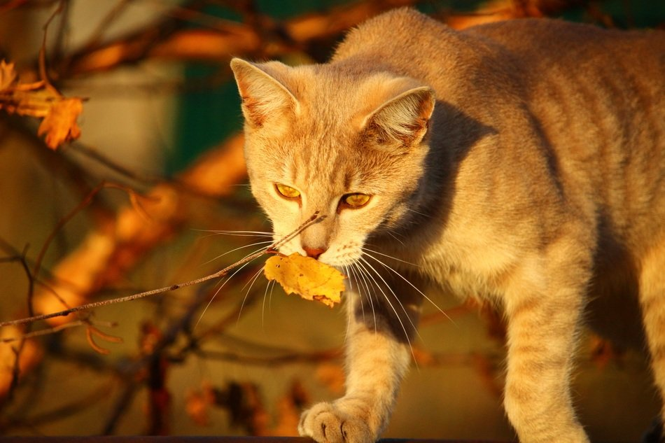 cat playing with autumn foliage