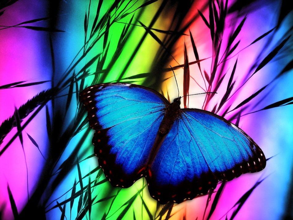 colorful illustration of a peleides blue morpho butterfly