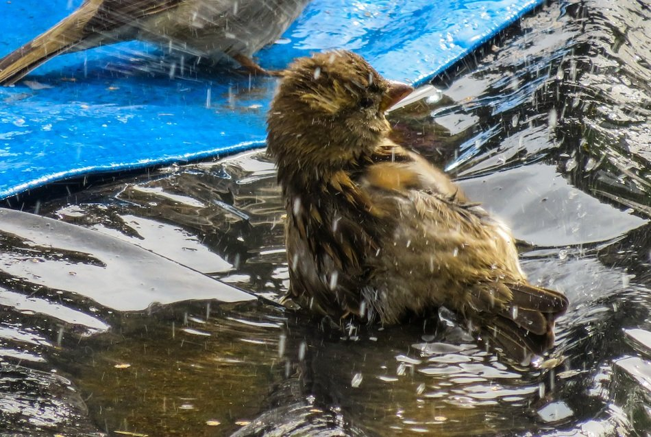 sparrow splashing in the water