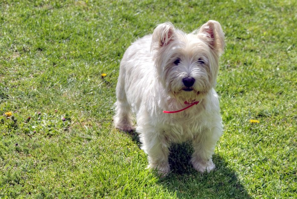west highland white terrier on the meadow