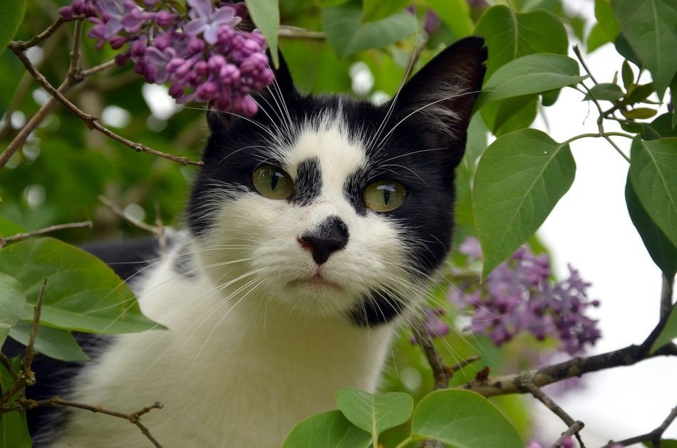 black and white cat in lilac bush