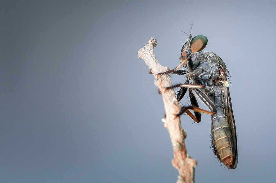 closeup of a robberfly