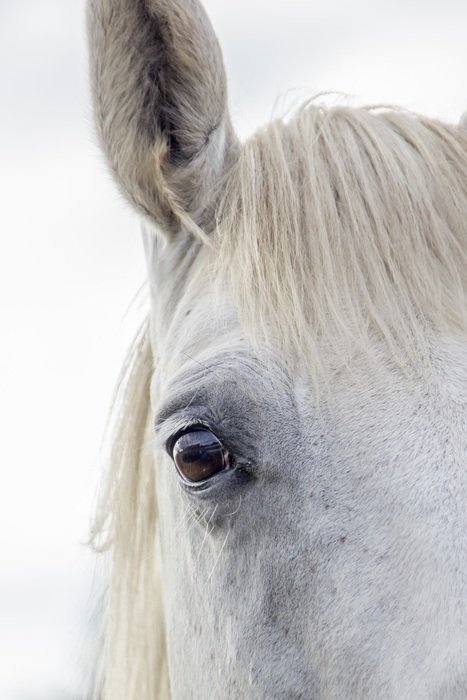 portrait of a white horse