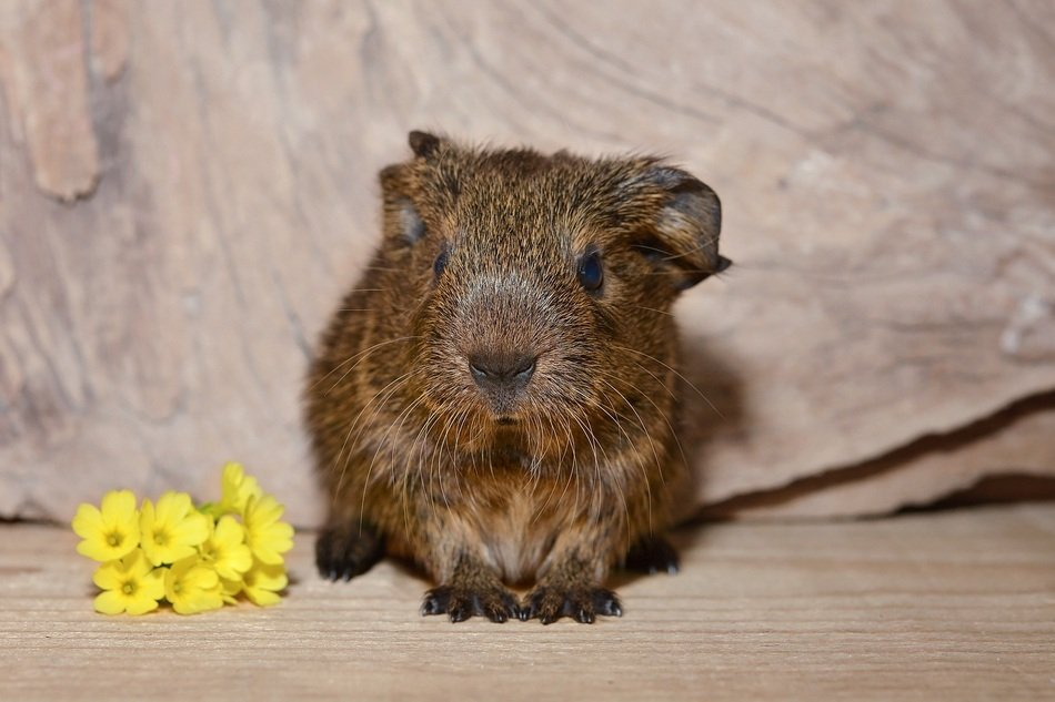 guinea pig and yellow flowers