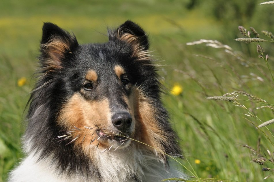 fluffy collie on the summer meadow