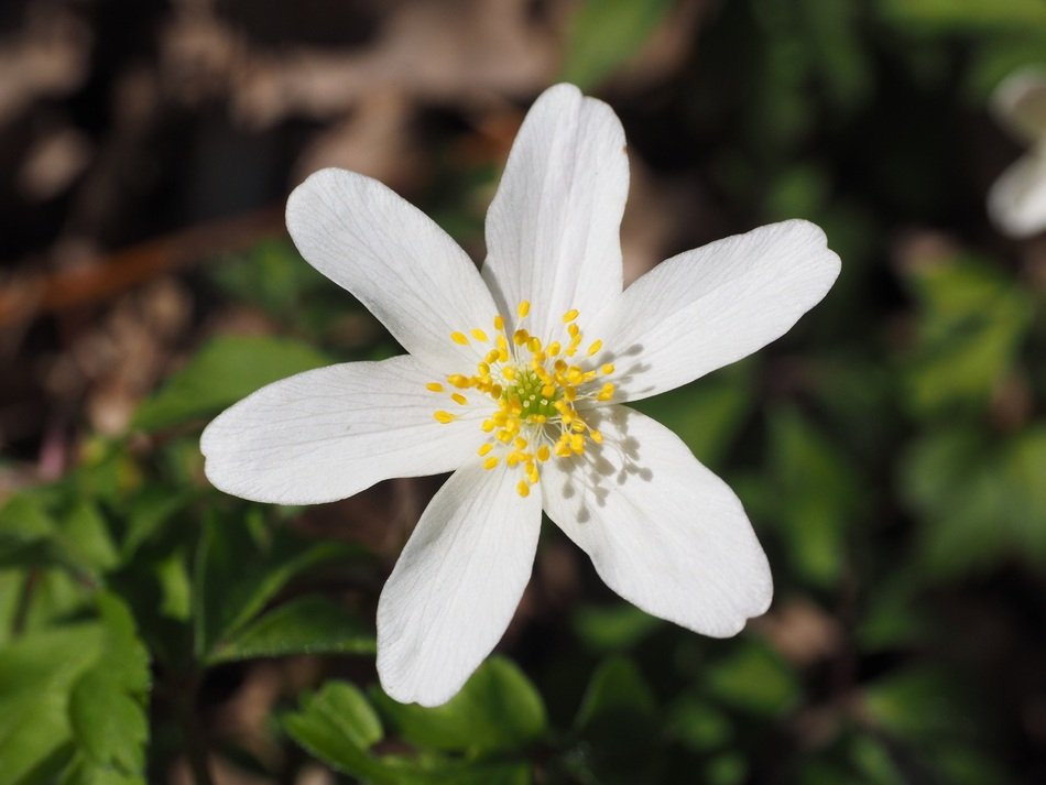inflorescence of wood anemone