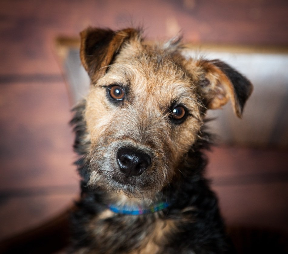 portrait of a lakeland terrier