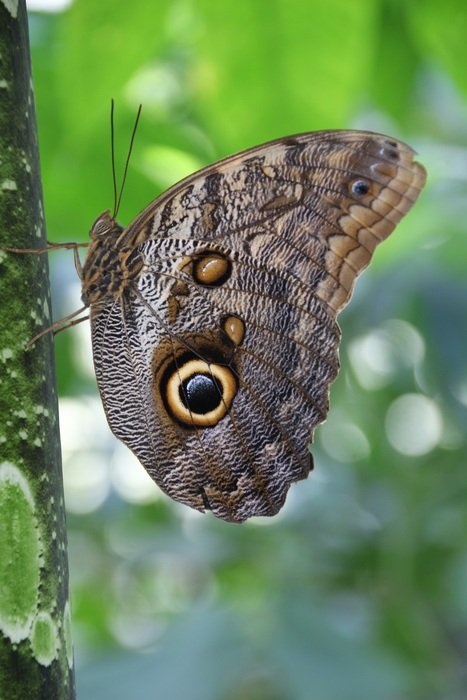 brown butterfly with eye spots