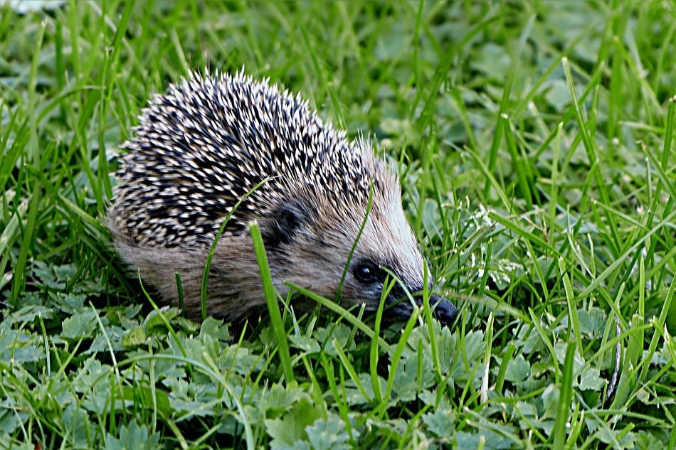 hedgehog on the green lawn