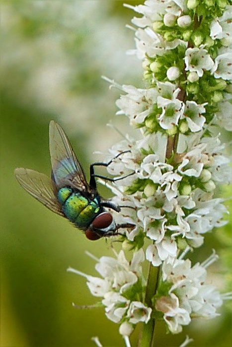 blow fly on the white flower
