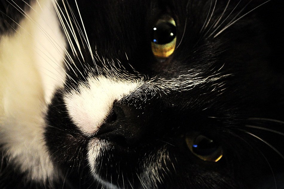 portrait of a black and white cat face