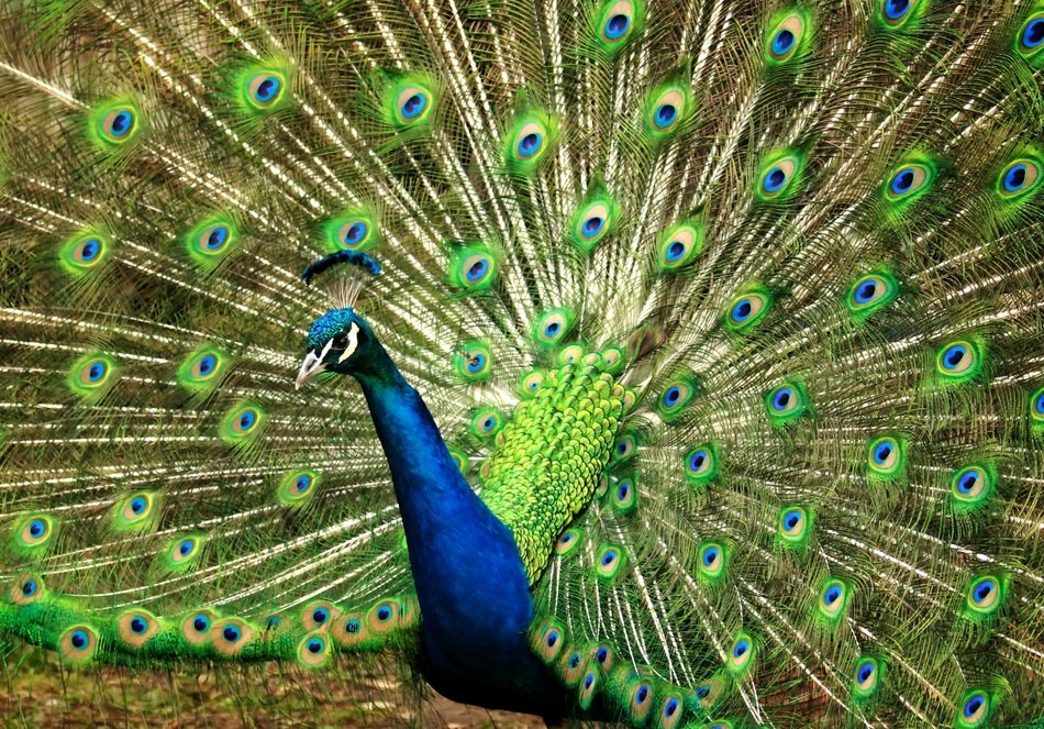 peacock with expanded blue green tail