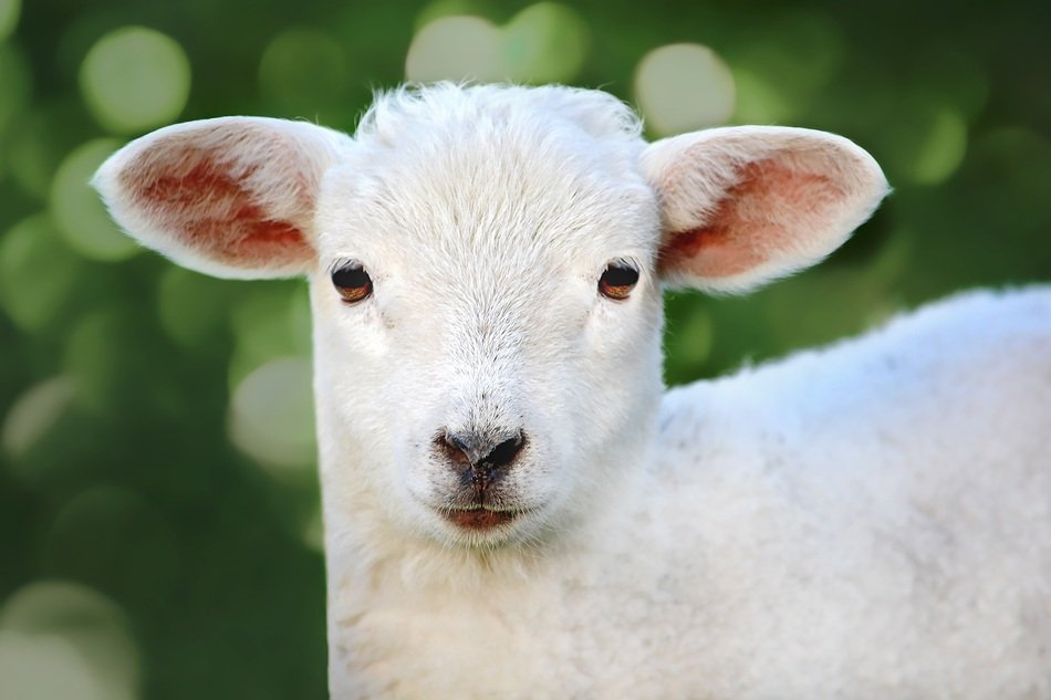 young white lamb