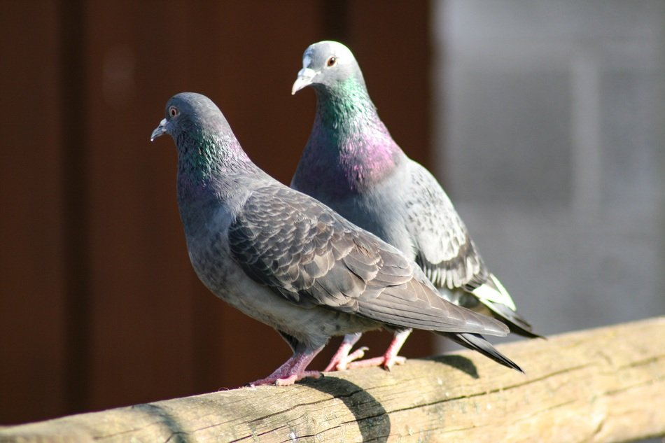 couple of pigeons in city