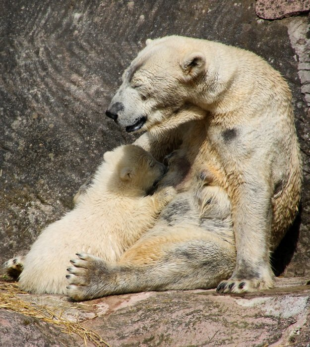 polar bear mother with child