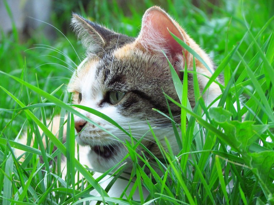 domestic cat hiding in the green grass