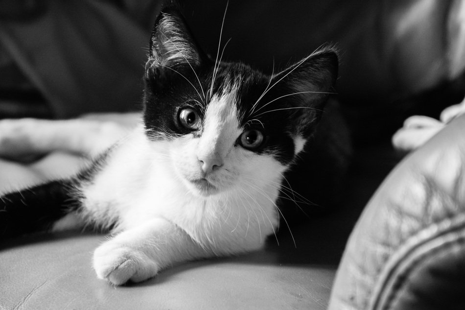 black and white picture of a black and white cat