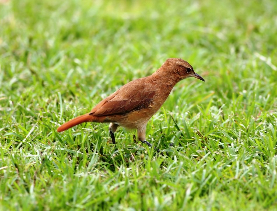 small red bird on the green grass