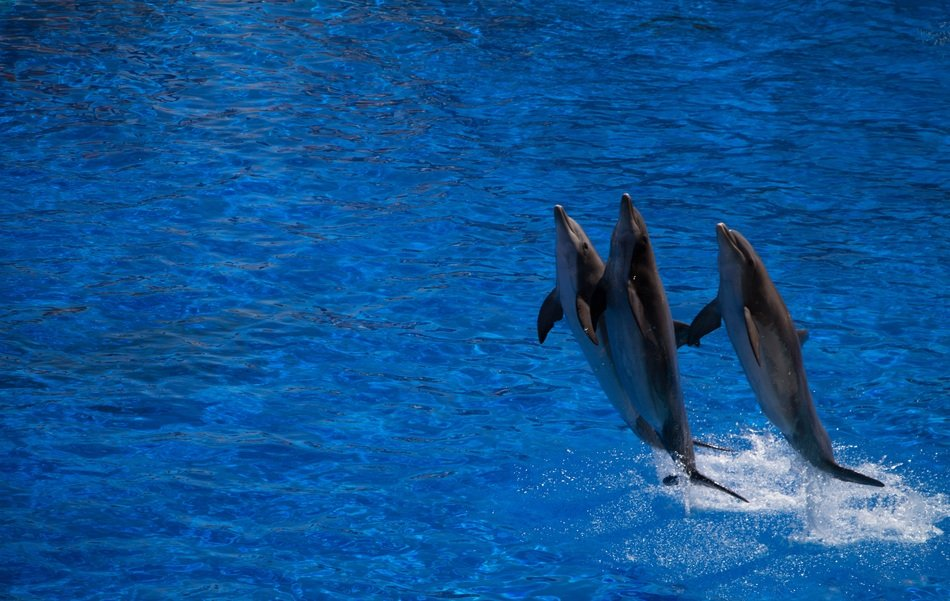 three Dolphins Jumping from Water