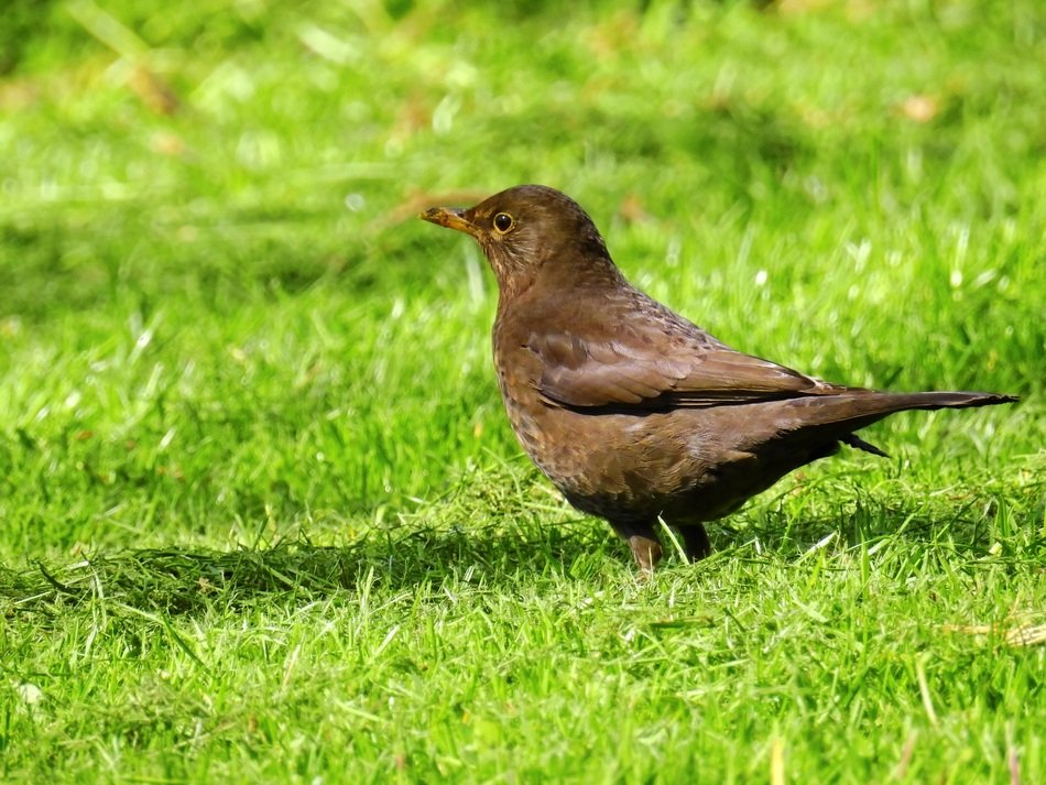 foraging blackbird