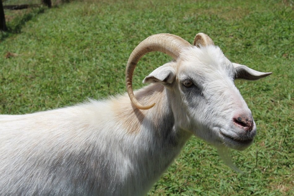 Goat, Horned Mammal Animals