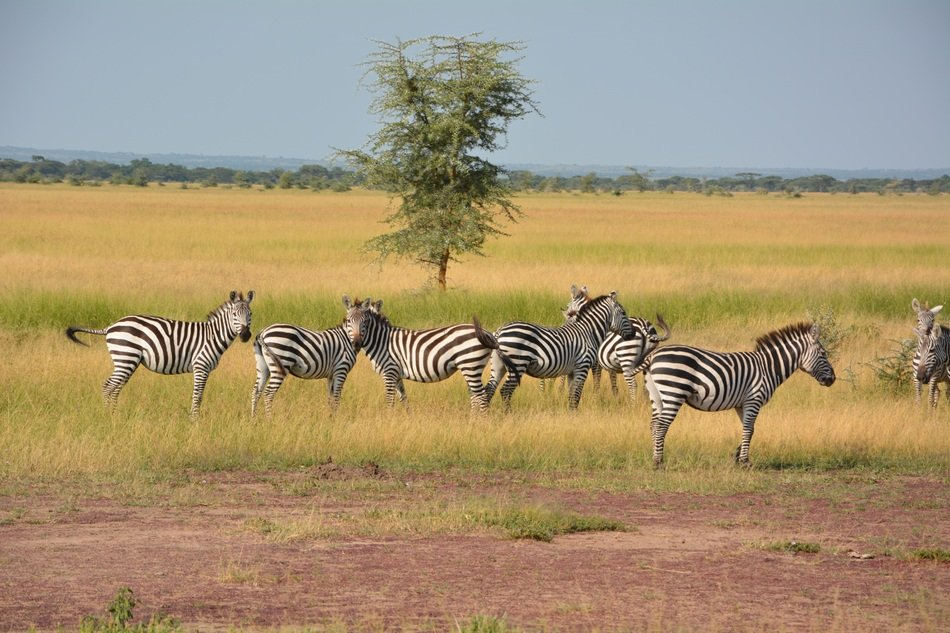 Zebras Flock Wilderness