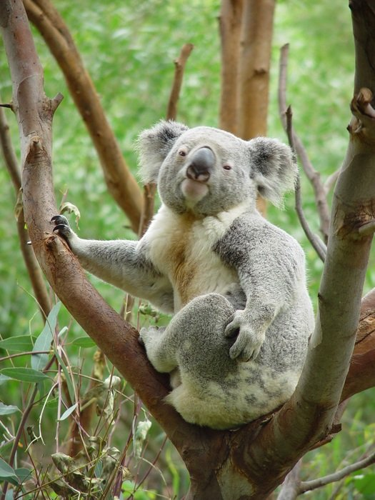 koala sitting on the tree