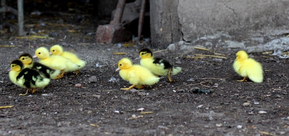 sweet yellow ducklings