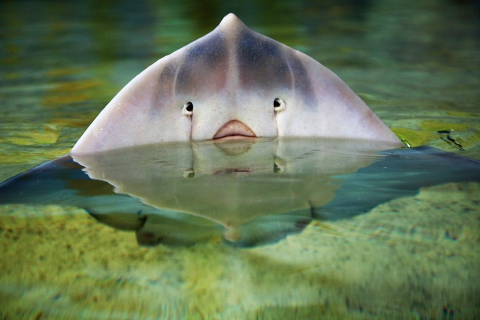 stingray in water