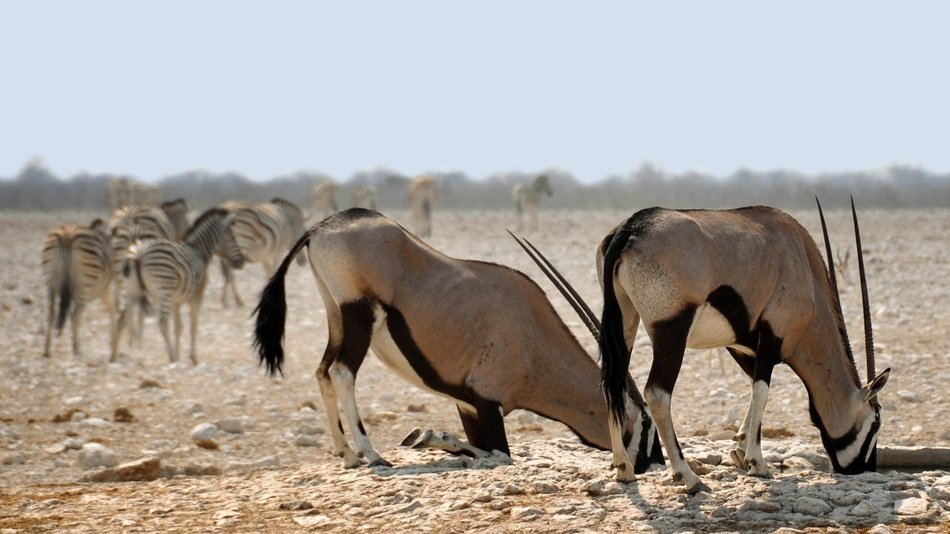 drinking oryx in the national park in namibia