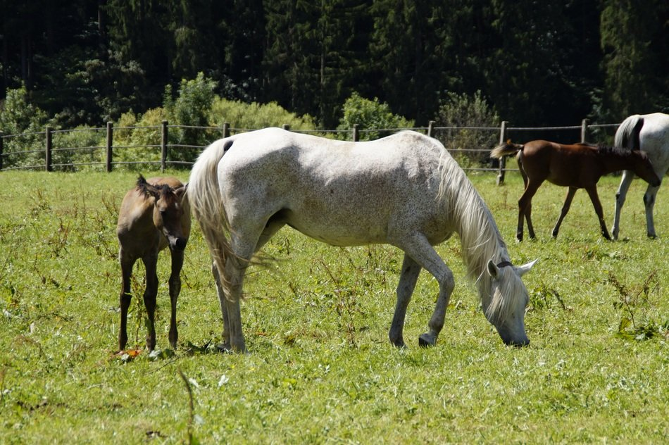 grazing mares with foals