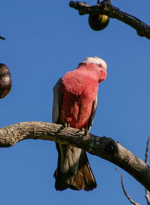 Halacha Pink Chested Cockatoo