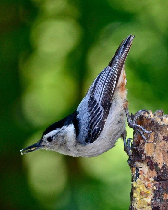 white-breasted nuthatch in wildlife