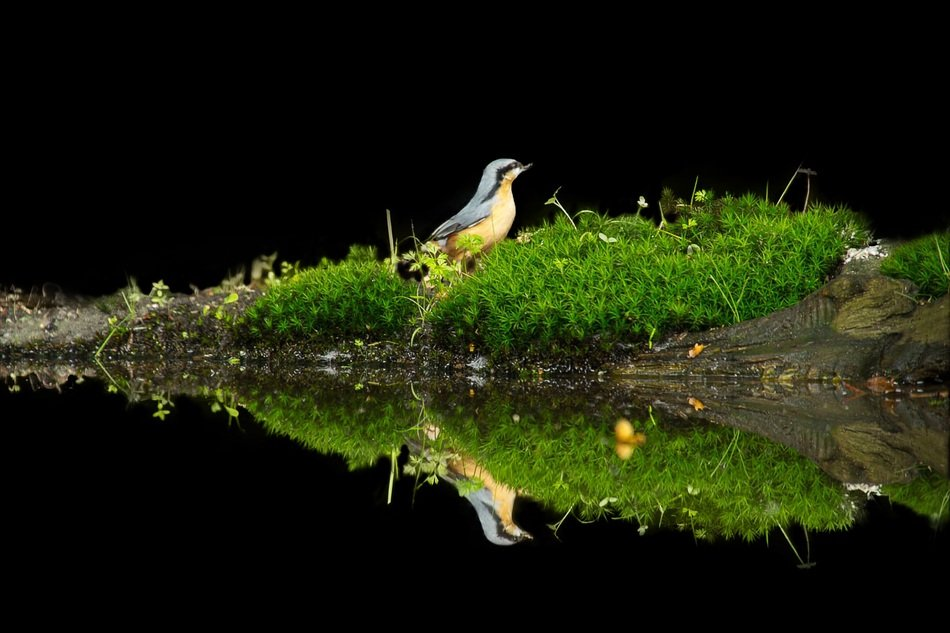 yellow bird reflected in water
