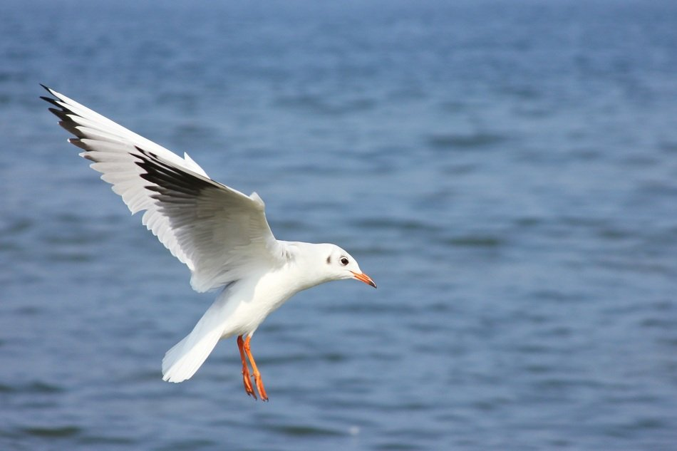 Seagull in Baltic Sea flying portrait