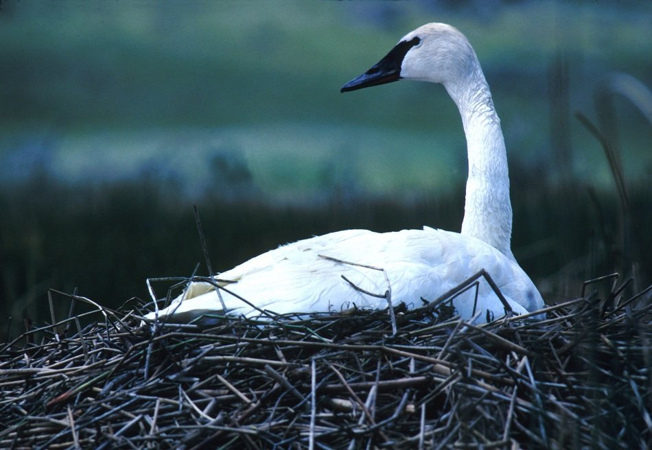 white swan hatches eggs in a nest