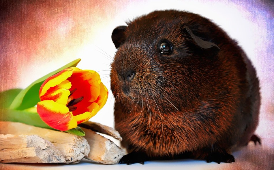 brown guinea pig with smooth hair