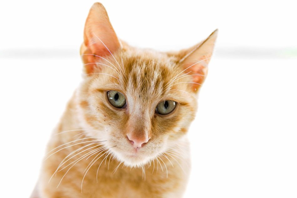 red kitten with green eyes on a white background