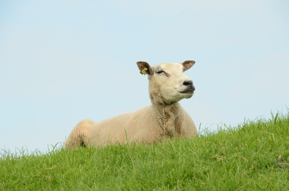 relaxing sheep