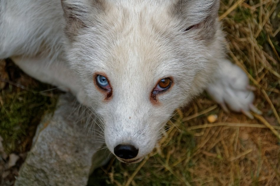 Arctic Fox with colored eyes