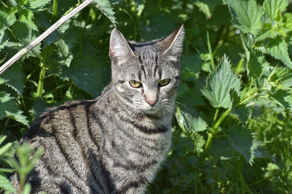 gray Domestic Cat