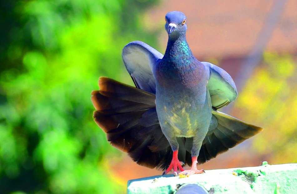 blue dove with red paws